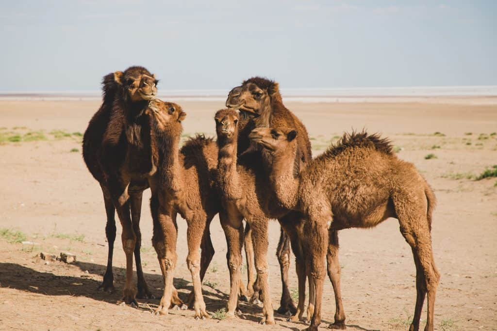 dehydrated keto diet camels