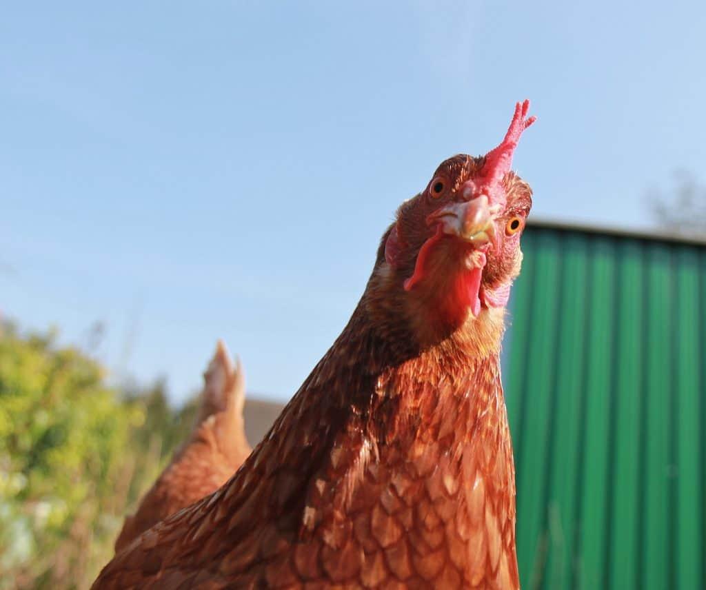 chicken options shake shack for ketogenic diet